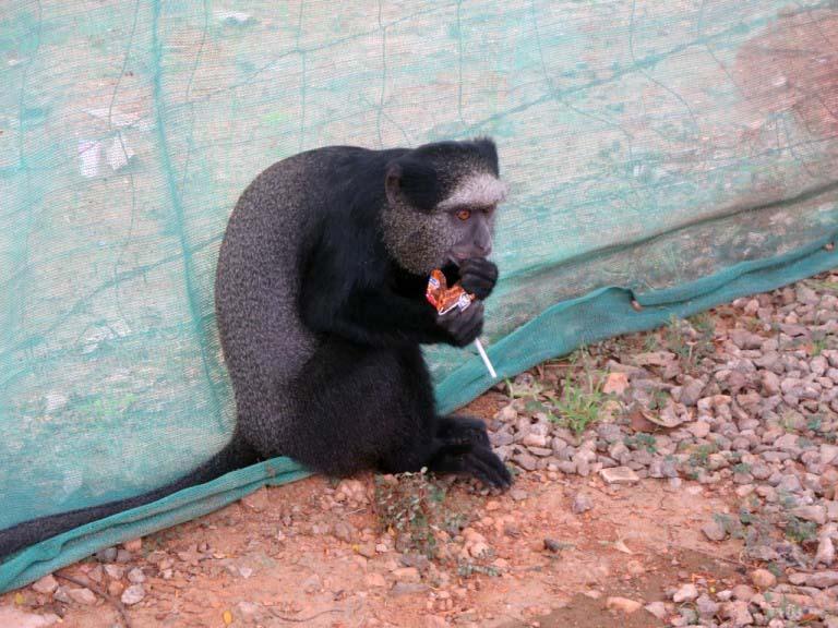 ベースへの訪問者猿