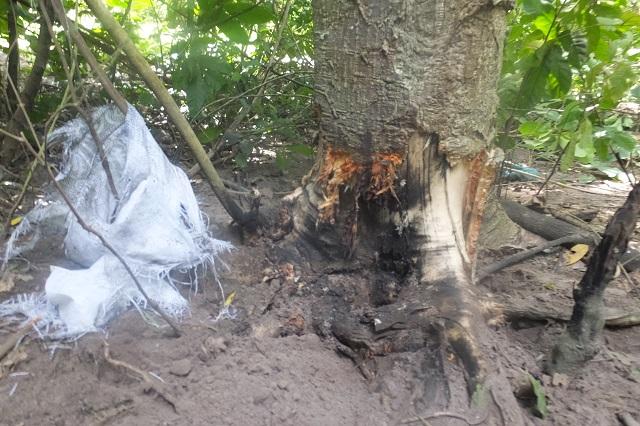 トレーニングチームが木に埋まった不発弾を処分